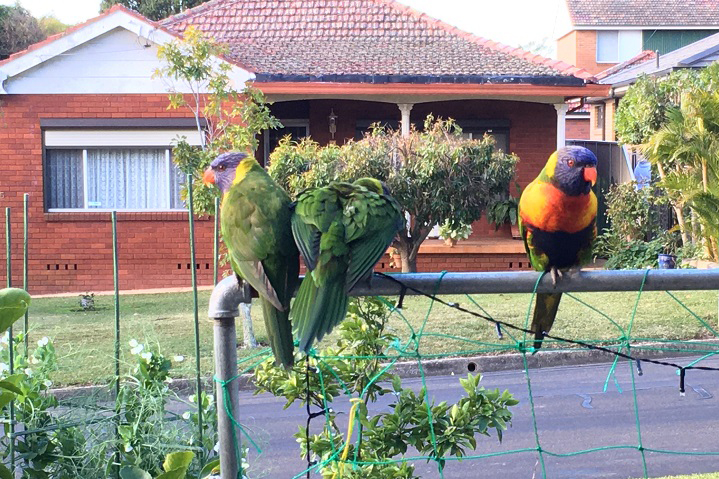 lorikeets_awaiting_feeding 23